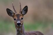 roa-deer7